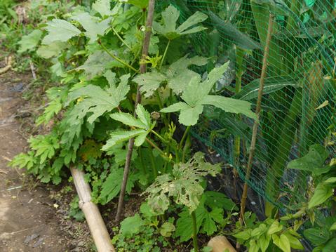 トウモロコシ、モロヘイヤ、オクラ初収穫6・22_c0014967_19283266.jpg