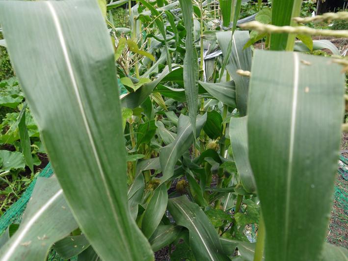 トウモロコシ、モロヘイヤ、オクラ初収穫6・22_c0014967_1928967.jpg