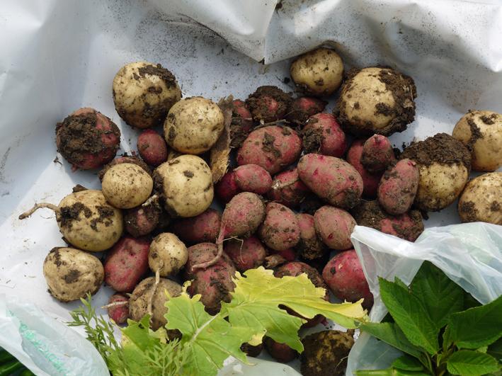 トウモロコシ、モロヘイヤ、オクラ初収穫6・22_c0014967_19292863.jpg