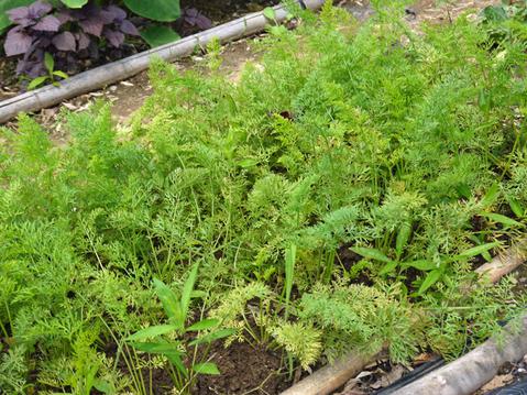 トウモロコシ、モロヘイヤ、オクラ初収穫6・22_c0014967_1929463.jpg