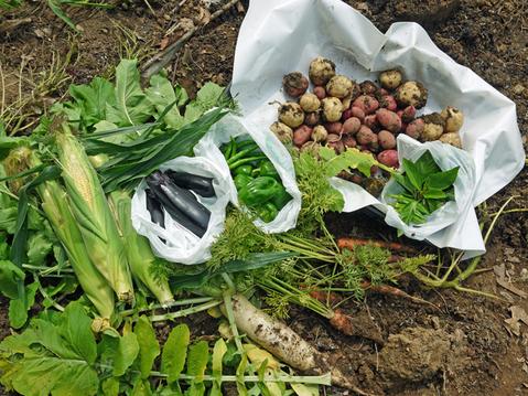 トウモロコシ、モロヘイヤ、オクラ初収穫6・22_c0014967_1931371.jpg
