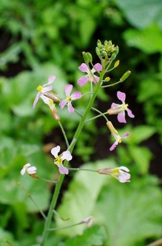 紫花豆の花と、ラディッシュの花_c0110869_1311849.jpg