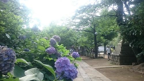 「紫陽花」_a0075684_0414969.jpg