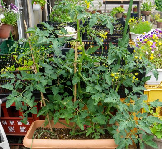 ミニトマト、赤玉ねぎ、ドクダミの乾燥など♪_a0136293_18584192.jpg