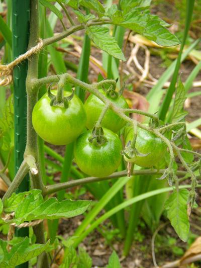 ミニトマト、赤玉ねぎ、ドクダミの乾燥など♪_a0136293_194323.jpg