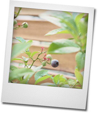 ミニトマトの収穫とブルーベリー_e0214646_2249039.png