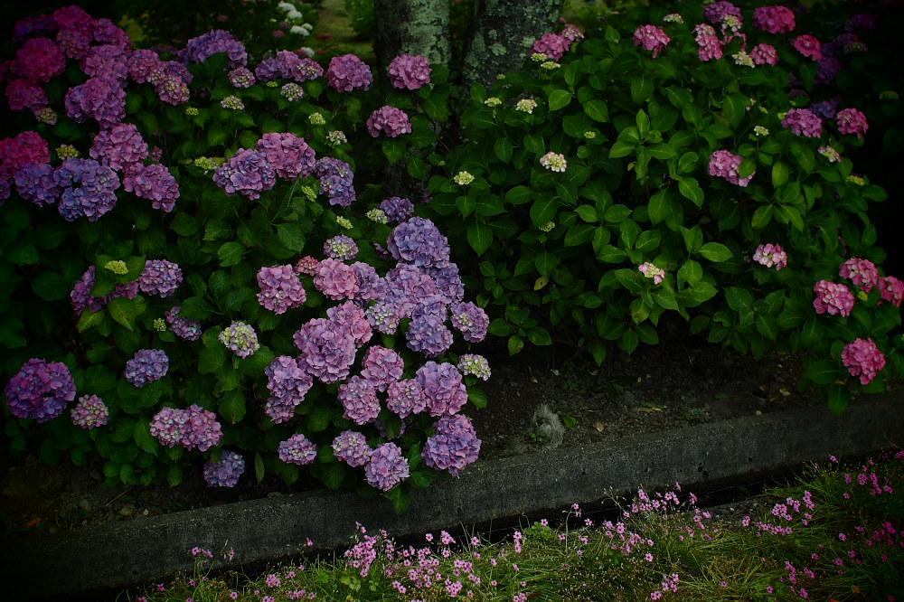 紫陽花 2015   <全長寺>                     _f0021869_048859.jpg