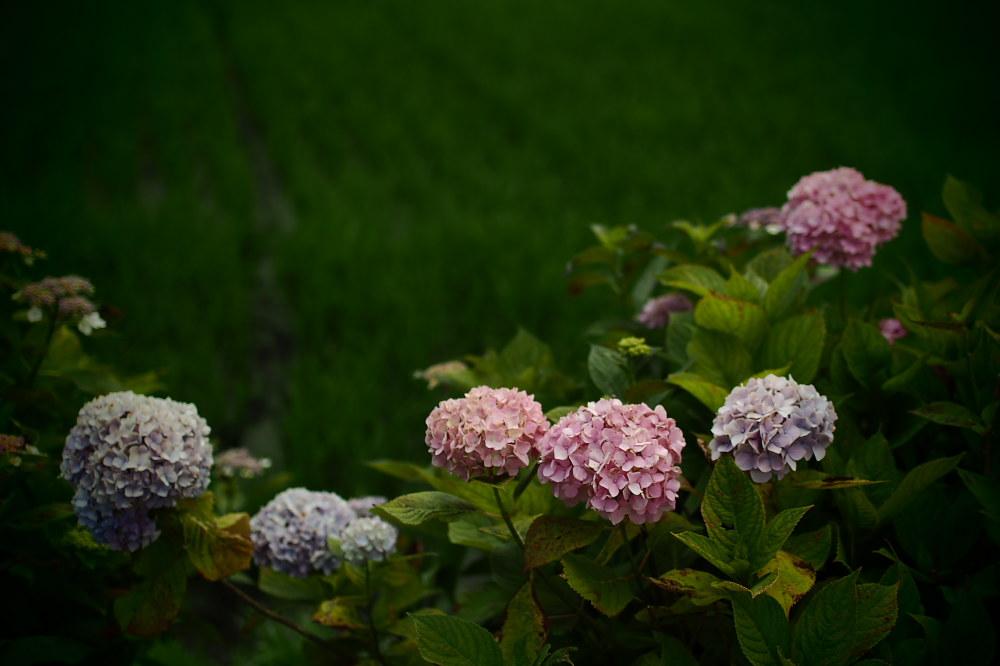 紫陽花 2015   <全長寺>                     _f0021869_051871.jpg