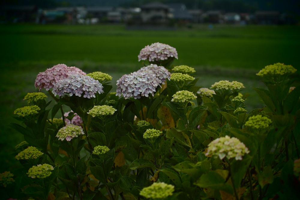 紫陽花 2015   <全長寺>                     _f0021869_0522520.jpg