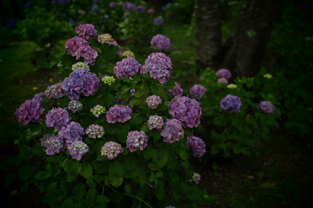 紫陽花 2015   <全長寺>                     _f0021869_052563.jpg