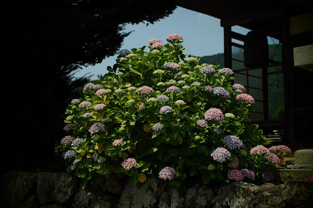 紫陽花 2015   <全長寺>                     _f0021869_0531918.jpg