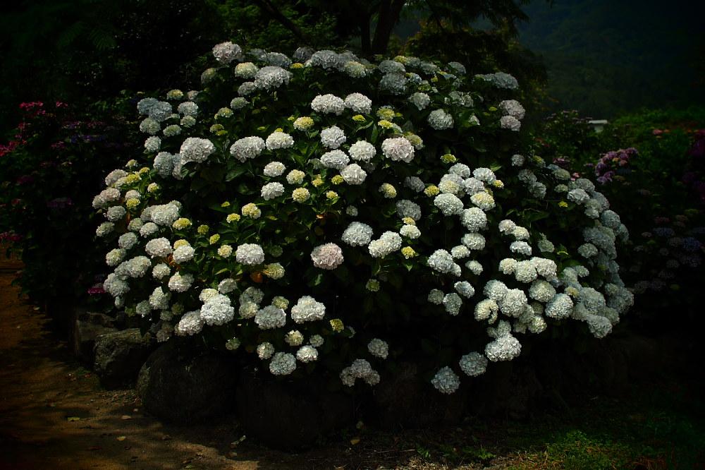 紫陽花 2015   <全長寺>                     _f0021869_0533131.jpg