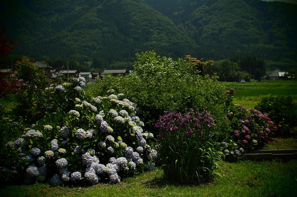 紫陽花 2015   <全長寺>                     _f0021869_054353.jpg