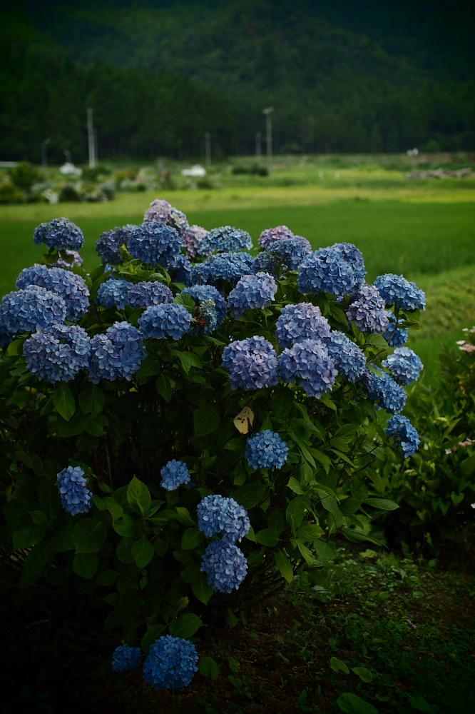 紫陽花 2015 <全長寺>                                    _f0021869_2235517.jpg