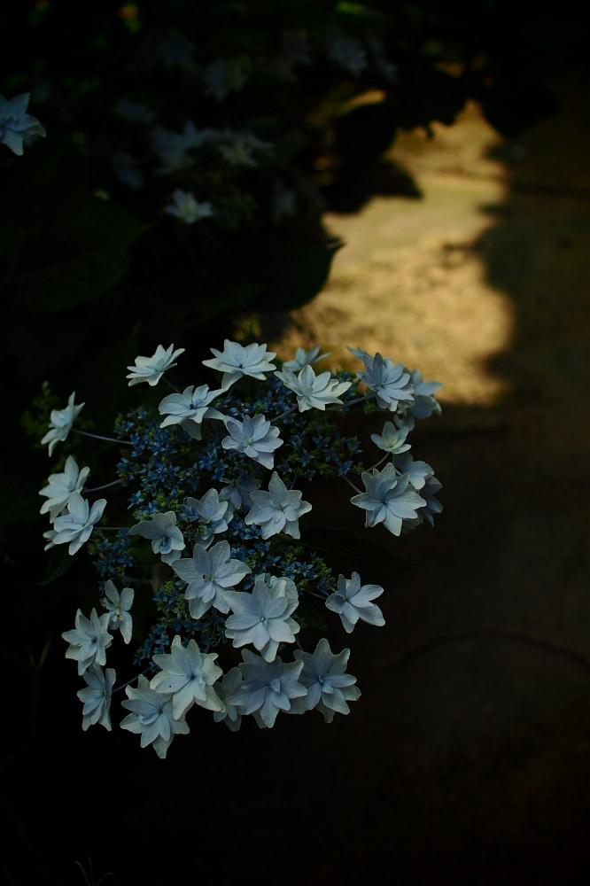 紫陽花 2015 <全長寺>                                    _f0021869_2244037.jpg