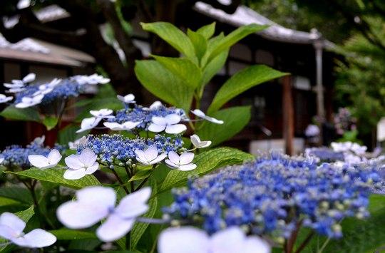 地元の紫陽花寺へ詣る_b0102572_1632031.jpg
