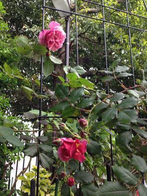 Rose Garden &  Afternoon Tea_c0195496_14431887.jpg
