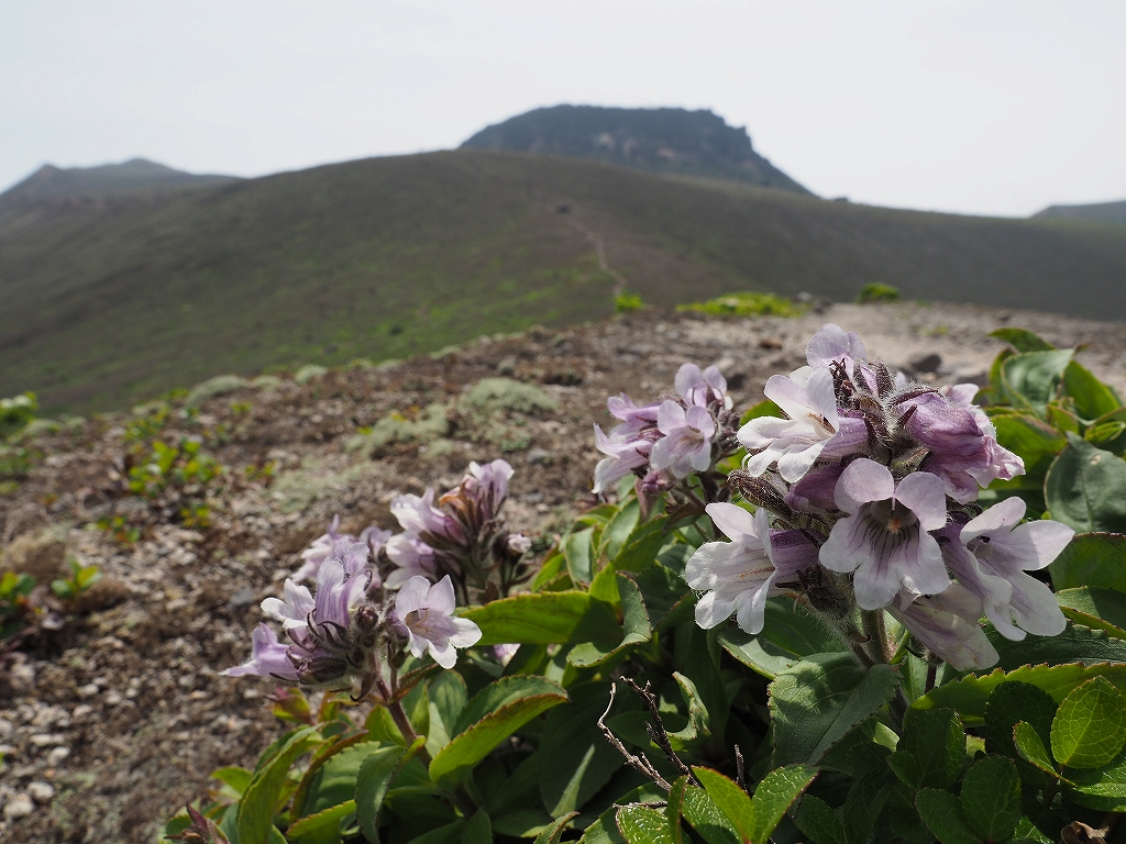 樽前山のタルマエソウ、6月26日_f0138096_2333844.jpg