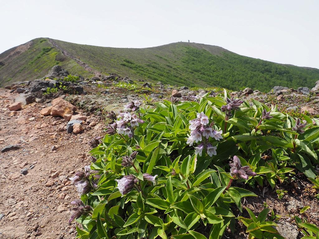 樽前山のタルマエソウ、6月26日_f0138096_23398.jpg