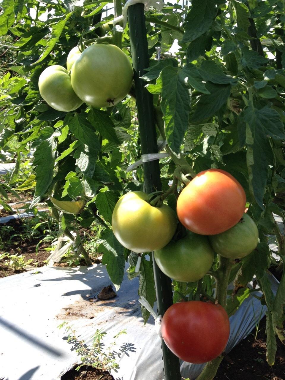 エンドウ豆の枯れ木を燃やし 成平 蔓ありいんげんの発芽確認 ナス&トマトの脇芽摘みと収穫_c0222448_14411778.jpg
