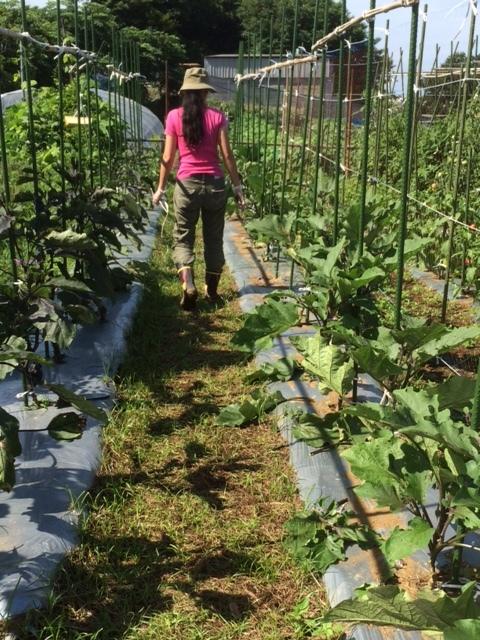 エンドウ豆の枯れ木を燃やし 成平 蔓ありいんげんの発芽確認 ナス&トマトの脇芽摘みと収穫_c0222448_14414651.jpg