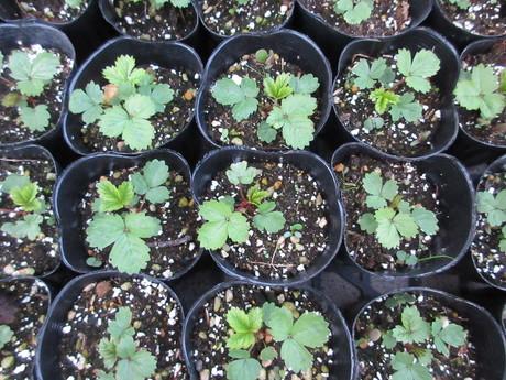 森の苺苗、ブラックベリーの実など_a0203003_19555454.jpg