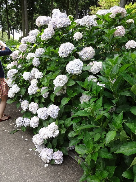 京都の紫陽花寺_c0178104_08272771.jpg