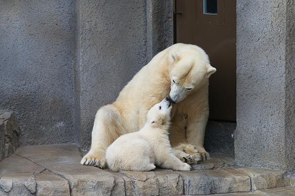 札幌円山動物園のシロクマ_a0003650_22112663.jpg