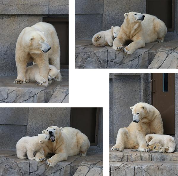 札幌円山動物園のシロクマ_a0003650_22113852.jpg