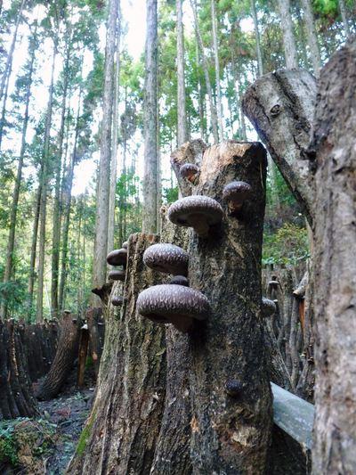 原木しいたけ 原木の本伏せ作業2015_a0254656_1924816.jpg