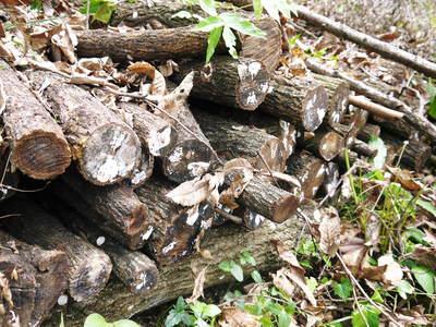 原木しいたけ 原木の本伏せ作業2015_a0254656_1949444.jpg