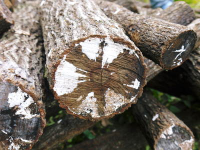 原木しいたけ 原木の本伏せ作業2015_a0254656_1974694.jpg