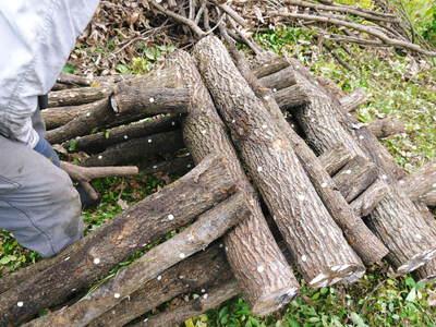 原木しいたけ 原木の本伏せ作業2015_a0254656_20194068.jpg