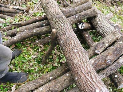 原木しいたけ 原木の本伏せ作業2015_a0254656_207226.jpg