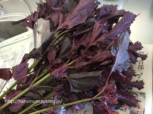 梅の本漬けと虫除け対策_d0291758_1548158.jpg