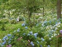 舞鶴アジサイ園は5万本の紫陽花がところ狭しと咲き乱れています。_c0133422_1381362.jpg