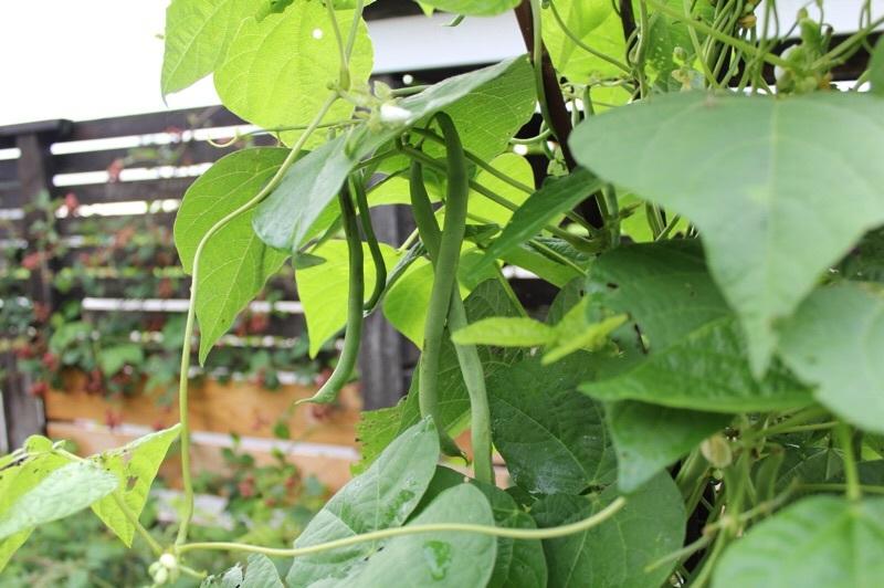 夏野菜大量消費モードへ_b0132338_07242103.jpg