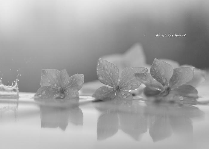 Hydrangea in the rain_a0322950_6303756.jpg