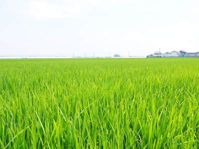 七城米 長尾農園 美しすぎる田んぼの田植え(2015)その1:欠株を出さない美しすぎる苗床と代かき_a0254656_17544399.jpg