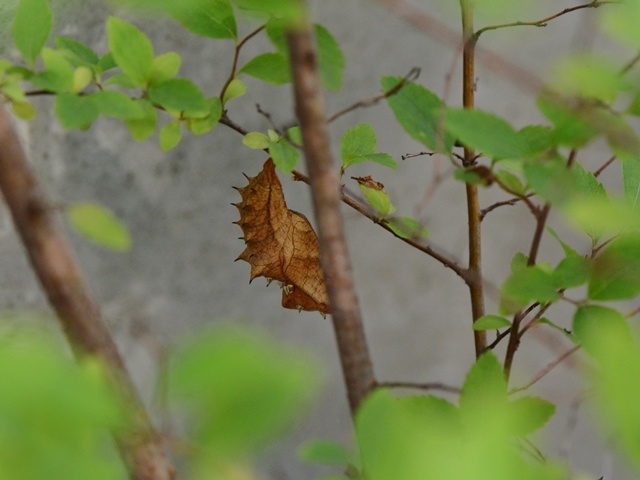 庭のツマグロヒョウモン_f0310988_12132572.jpg