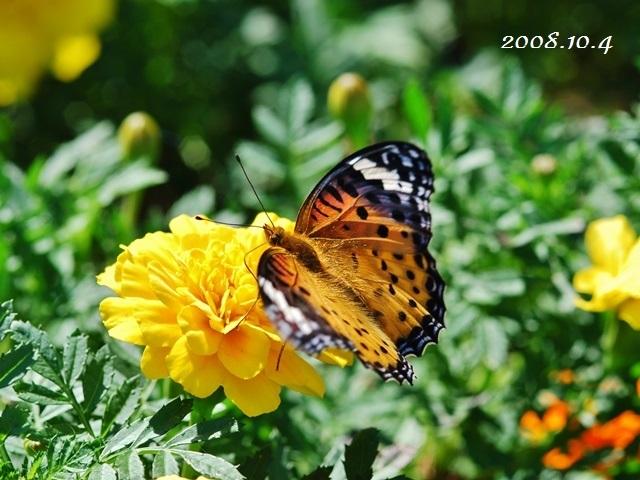 庭のツマグロヒョウモン_f0310988_12220619.jpg
