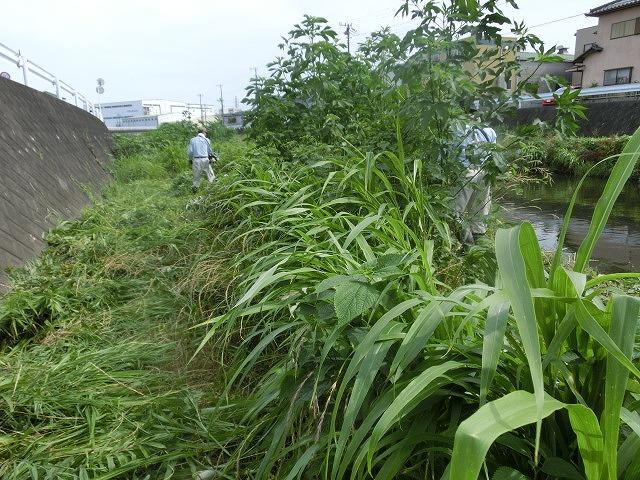 梅雨の晴れ間に小潤井川で草刈り 夜の払いはいつもの「ホルモン忠ちゃん」_f0141310_734312.jpg