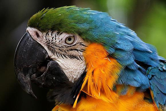 瑠璃金剛鸚哥(Blue and yellow Macaw)