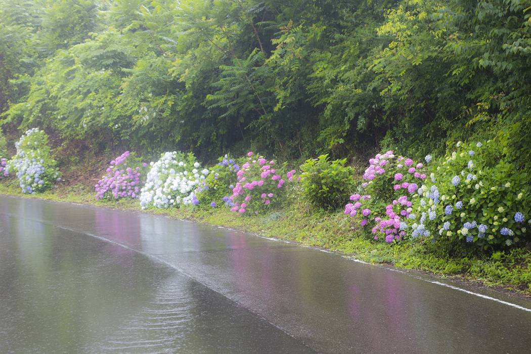 雨の紫陽花ロード_c0077395_15415976.jpg