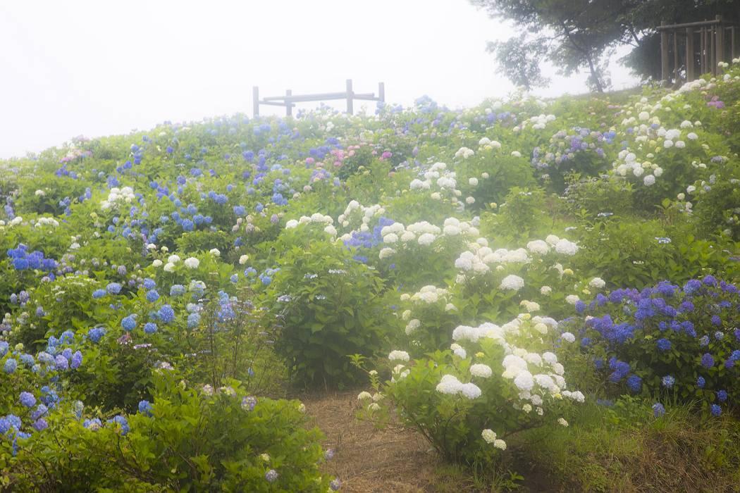 雨の紫陽花ロード_c0077395_15442574.jpg