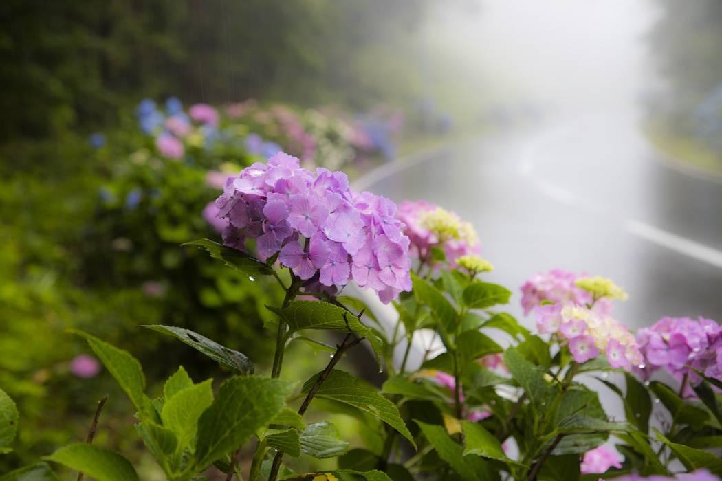 雨の紫陽花ロード_c0077395_18584286.jpg
