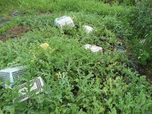 スイカの収穫時期ですが..._b0137932_21571285.jpg