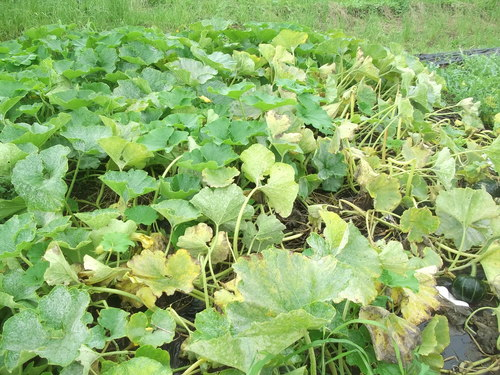 スイカの収穫時期ですが..._b0137932_2159867.jpg