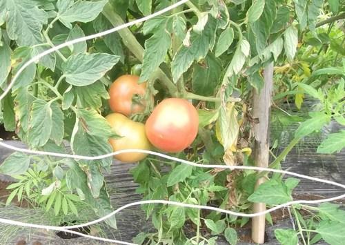 トマト&トウモロコシ_b0137932_2221926.jpg