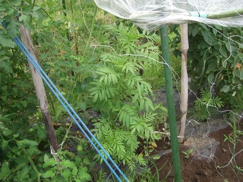 トマト&トウモロコシ_b0137932_222382.jpg